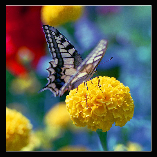 "photo ""Butterfly Carnival"" tags: nature, flowers, wild animals"