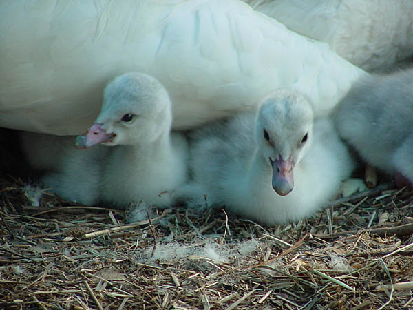 "photo ""New Cygnet"" tags: nature, wild animals"