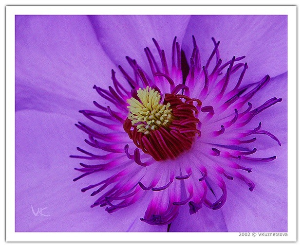 "photo ""Purple Flower"" tags: macro and close-up, nature, flowers"