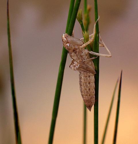 """фото """"Summer Songs"""" метки: макро и крупный план, природа, насекомое"""