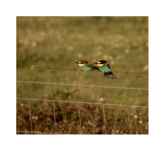"photo ""Bee-eaters"" tags: nature, wild animals"