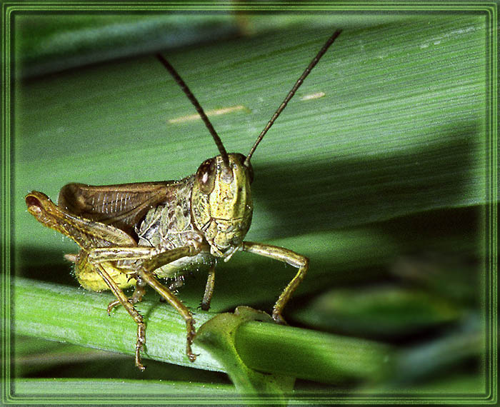 "photo ""In a grass sat the grasshopper…"" tags: macro and close-up, nature, insect"