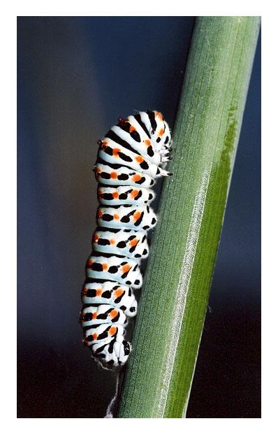 "photo ""Papilio sp."" tags: misc.,"