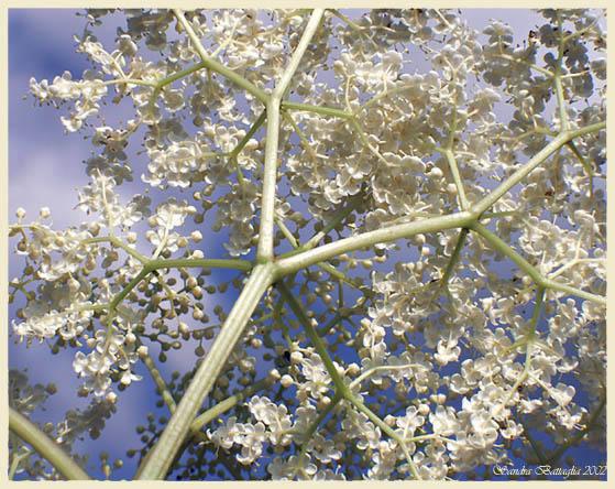 """фото """"Elderberries `Under Construction`"""" метки: макро и крупный план, природа, цветы"""