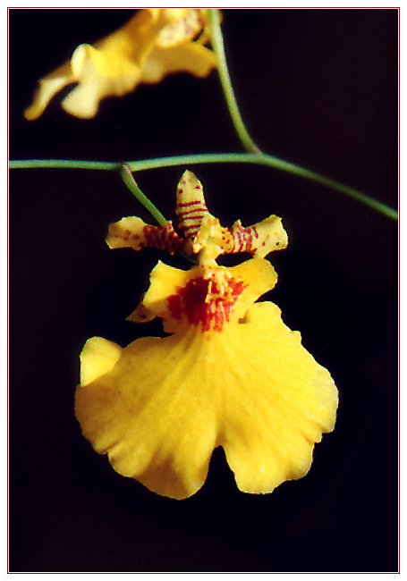 "photo ""Yellow Orchid"" tags: nature, flowers"