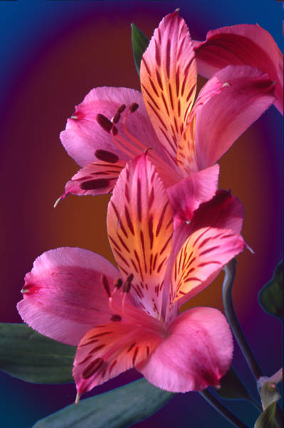 "photo ""Peruvian Lilies"" tags: montage, nature, flowers"