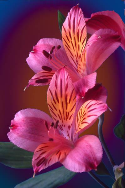 "фото ""Peruvian Lilies"" метки: фотомонтаж, природа, цветы"
