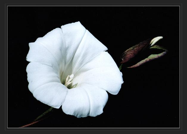 """фото """"вьюн"""" метки: макро и крупный план, природа, цветы"""