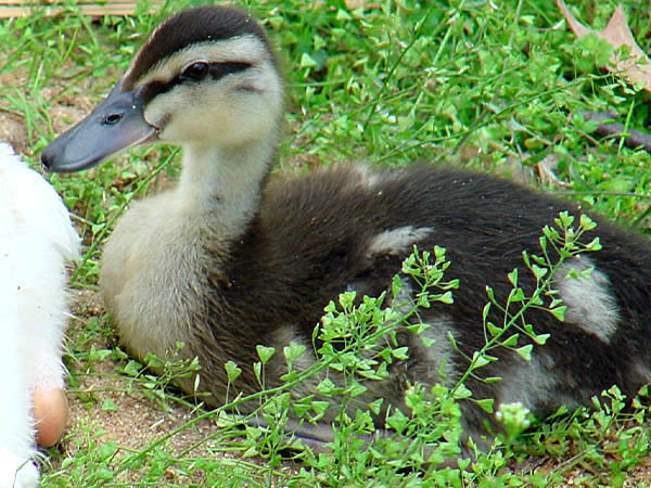 "photo ""Duckling"" tags: nature, wild animals"