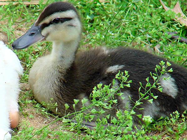 """фото """"Duckling"""" метки: природа, дикие животные"""