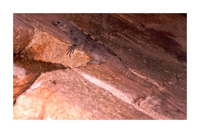 "photo ""Iguana spp."" tags: nature, wild animals"