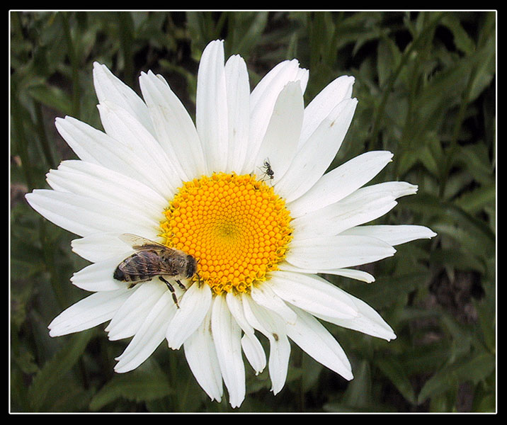 "photo ""Daisie with a bee"" tags: macro and close-up, nature, flowers"