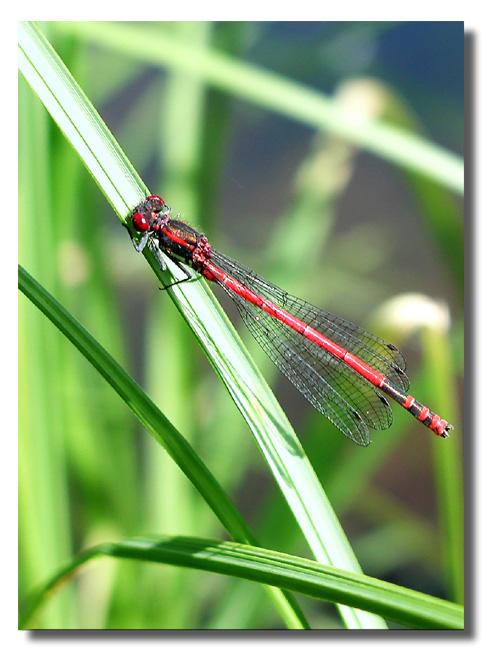 "фото ""Красавица"" метки: природа, насекомое"