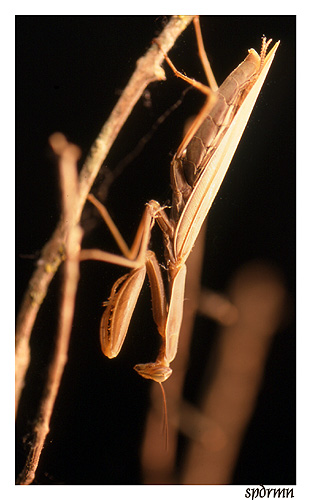 """фото """"Dressed to Kill"""" метки: природа, макро и крупный план, насекомое"""