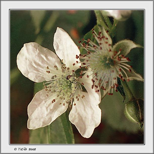 """фото """"Лесная малина"""" метки: природа, макро и крупный план, цветы"""