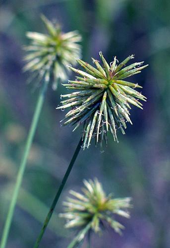 """фото """"Three-Part Harmony"""" метки: макро и крупный план, природа, цветы"""