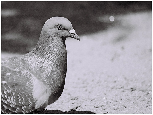 "photo ""Pingeon 2"" tags: genre,"