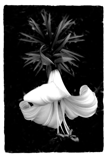 "photo ""Easter Lily (Reworked)"" tags: nature, flowers"