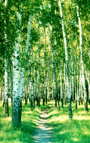 "photo ""Birch grove"" tags: landscape, forest, summer"