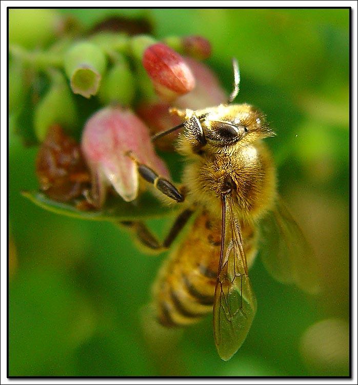 """фото """"Bee"""" метки: природа, макро и крупный план, насекомое"""