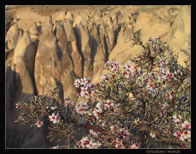 """фото """"Цветение дикого абрикоса..."""" метки: пейзаж, природа, горы, цветы"""