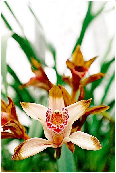 "фото ""Орхидеи"" метки: природа, цветы"