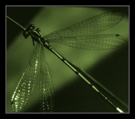 """фото """"Ниточка-иголочка (название из детства)"""" метки: макро и крупный план, природа, насекомое"""