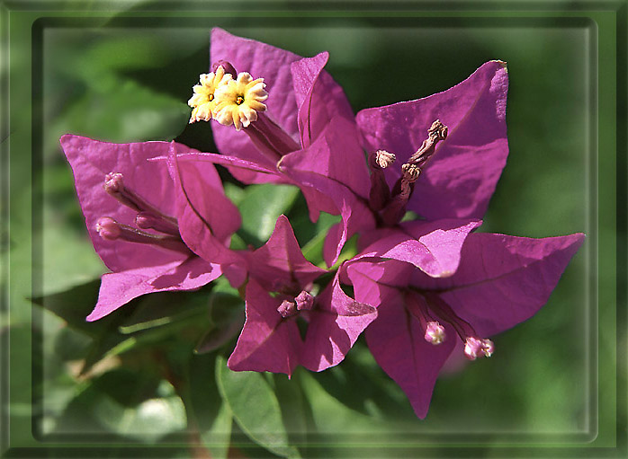 "photo ""Bougainvillea"" tags: nature, flowers"