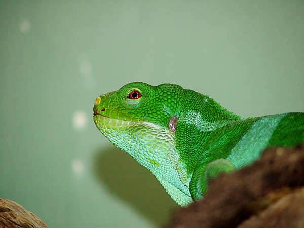 "фото ""Banded Iguana"" метки: природа, дикие животные"