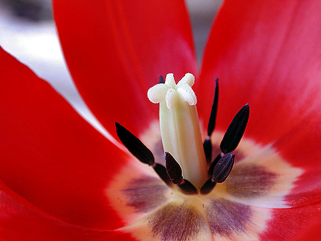 "photo ""Tulip detail"" tags: macro and close-up,"