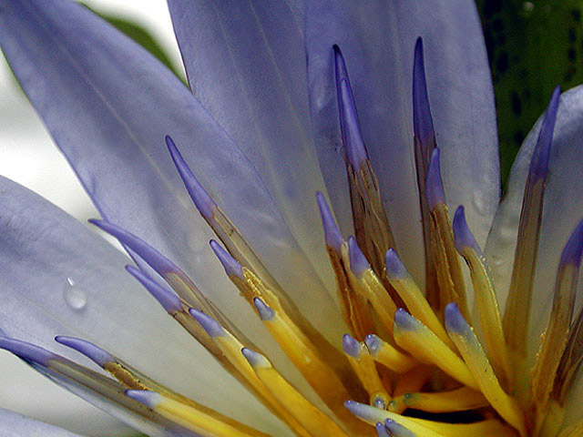 "photo ""Water Lily"" tags: macro and close-up,"