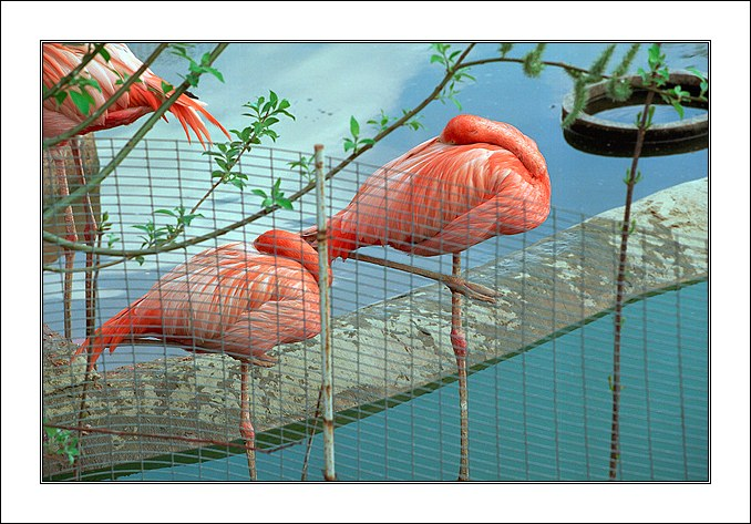 "фото ""За решеткой 2 (Фламинго)"" метки: природа, дикие животные"