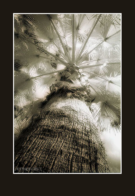 "фото ""An IR Palm Tree Perspective"" метки: разное,"