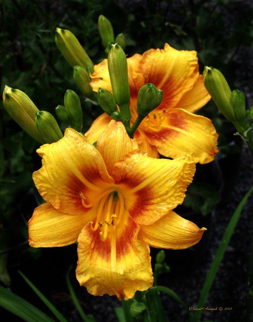 "фото ""Yellow Lillys I think???"" метки: природа, цветы"