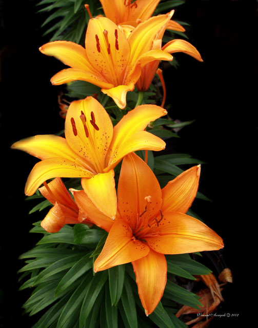 "photo ""Why not 3 Lillies"" tags: nature, still life, flowers"