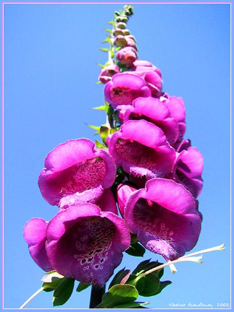 """фото """"Колокольня"""" метки: природа, цветы"""