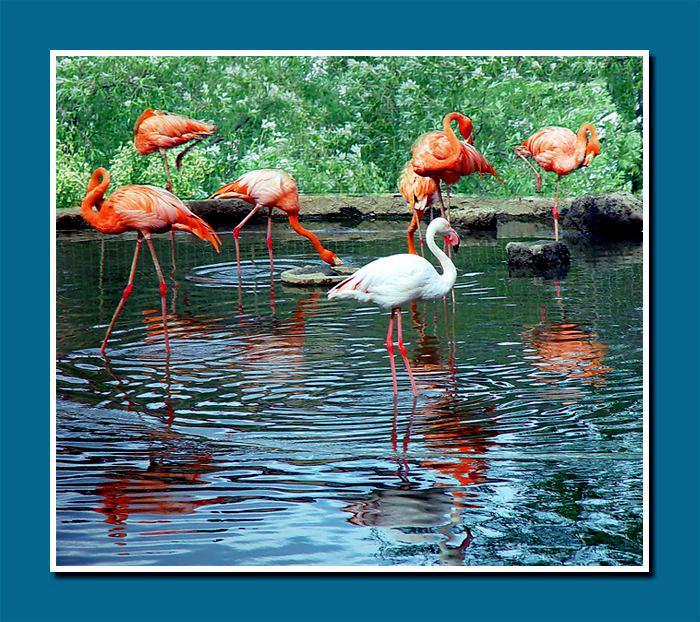 """фото """"Фламинго (разные)"""" метки: природа, фотомонтаж, дикие животные"""