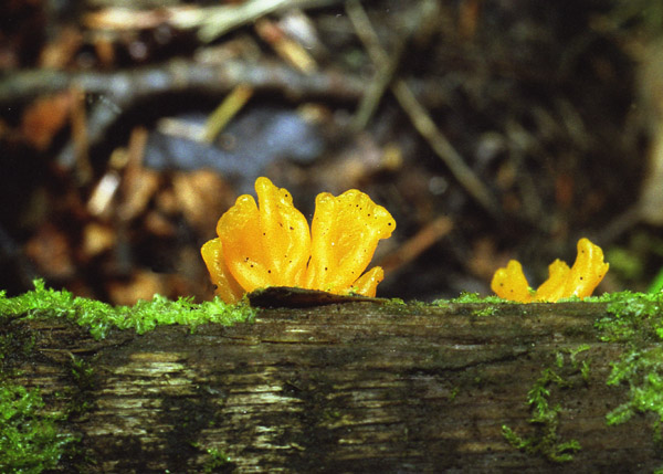 "photo ""Yellow flat mushroom"" tags: macro and close-up, nature,"