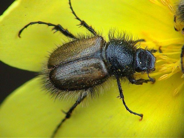 """фото """"Hairy Bug"""" метки: макро и крупный план,"""
