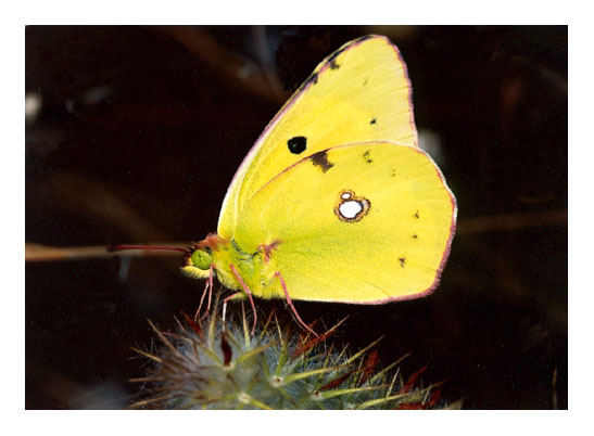 "photo ""Yellow butterfly"" tags: nature, insect"