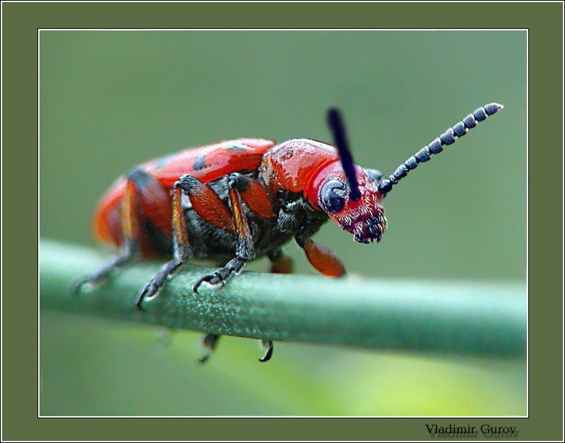 "photo ""Beetle`s grandpa"" tags: nature, macro and close-up, insect"