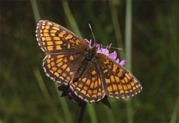 """фото """"Melitaea sp."""" метки: макро и крупный план, природа, насекомое"""