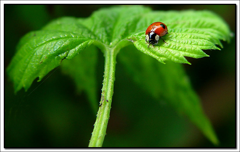 "photo ""Ladybug on leaves"" tags: nature, macro and close-up, insect"