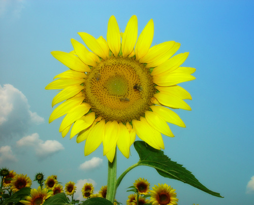 "photo ""A sunflower"" tags: nature, macro and close-up, flowers"