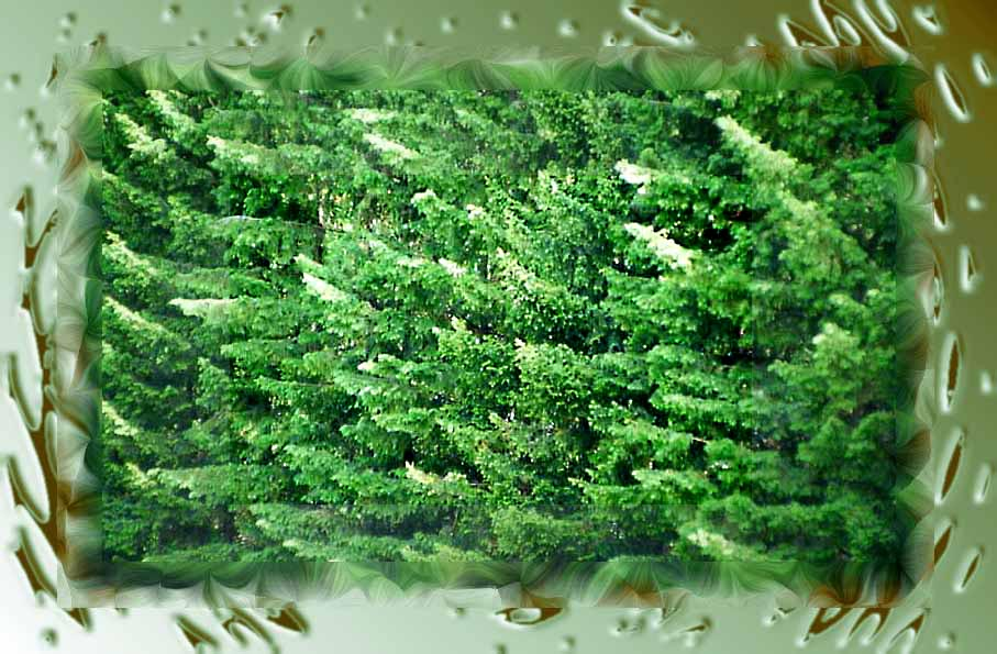 "photo ""A Fir"" tags: abstract, misc.,"
