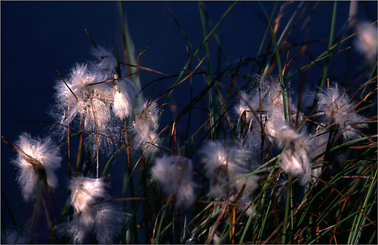 "фото ""Marsh plant"" метки: природа, цветы"