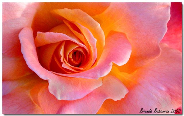 """фото """"Pastel Petals"""" метки: макро и крупный план, природа, цветы"""