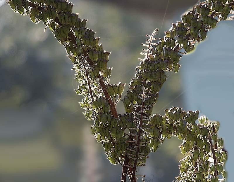 "фото ""Клопогон #5"" метки: природа, цветы"