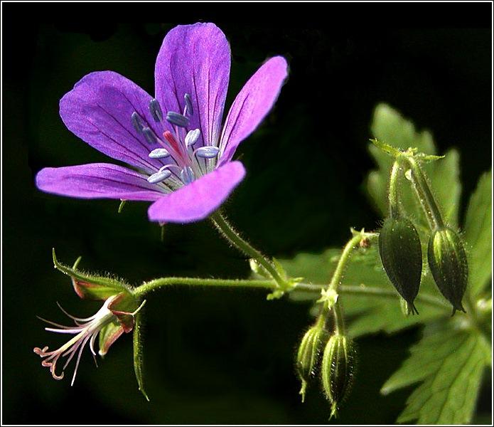 """фото """"Лесная Золушка для Вики"""" метки: природа, макро и крупный план, цветы"""