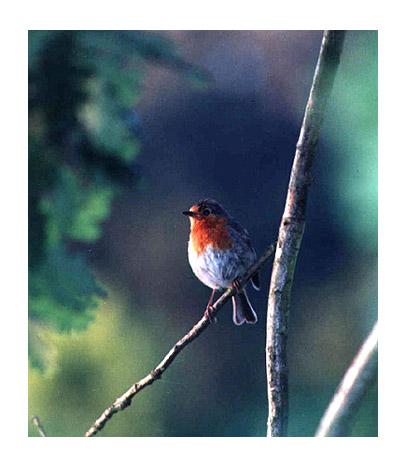 "photo ""Erithacus rubecula"" tags: nature, wild animals"